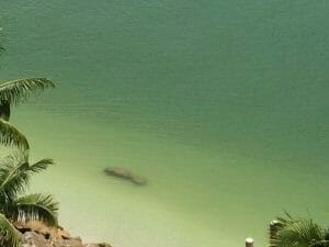 Manatee in Cape Marco Marco Island Real Estate